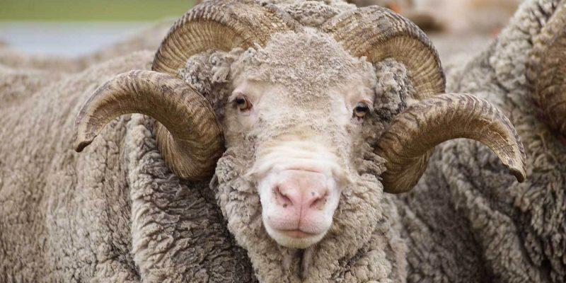 C'est quoi la laine mérinos... quel prix ?